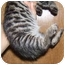 Photo 1 - Bengal Kitten for adoption in Dallas, Texas - Kinks