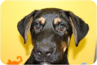 Shepherd (Unknown Type) Mix Puppy for adoption in HARRISONVILLE, Missouri - Bear