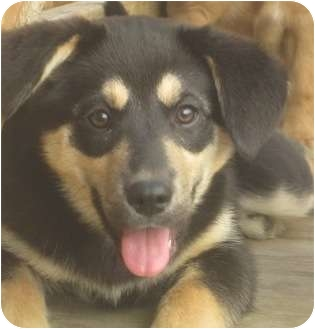 German Shepherd Dog/Husky Mix Puppy for adoption in Chicago, Illinois - Maxi(ADOPTED!)