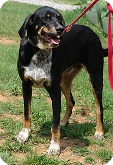 Bluetick Coonhound Mix Dog for adoption in Washington, D.C. - Tommy