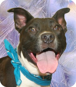 Pit Bull Terrier Mix Dog for adoption in Cincinnati, Ohio - Queen