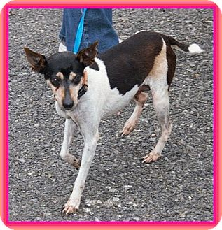 Rat Terrier Mix Dog for adoption in Windham, New Hampshire - Mary Kay IN New ENG. $150 off