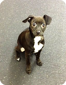 Jack Russell Terrier/Italian Greyhound Mix Puppy for adoption in Snohomish, Washington - Chompsky