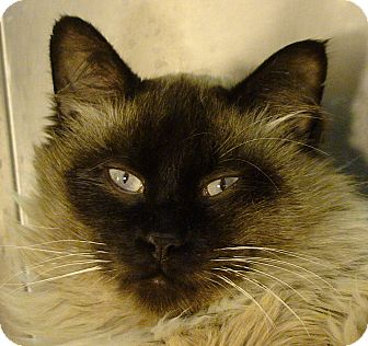 Ragdoll Cat for adoption in El Cajon, California - Henry