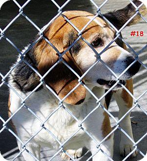 Beagle Mix Dog for adoption in Floyd, Virginia - URGENT - At Pound #18