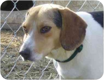 Beagle Dog for adoption in Olive Branch, Mississippi - Zack