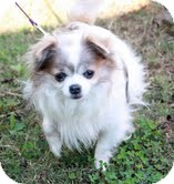 Chihuahua Dog for adoption in Brattleboro, Vermont - Sammi