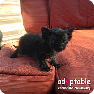 Domestic Shorthair Kitten for adoption in Edmonton, Alberta - Domino