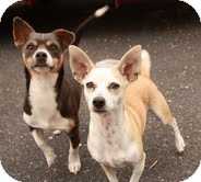 Chihuahua Mix Dog for adoption in Brattleboro, Vermont - Little Bit (In New England)