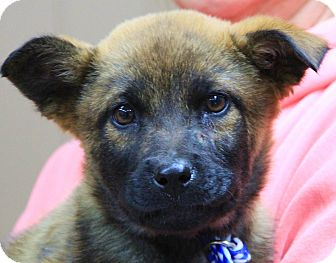 German Shepherd Dog Mix Puppy for adoption in Stamford, Connecticut - Ginger