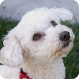 Basenji Mix Puppy for adoption in La Costa, California - Jamie