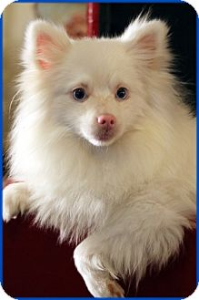 Pomeranian Mix Dog for adoption in conroe, Texas - Snowball