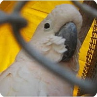 Adopt A Pet :: Peaches - Melbourne Beach, FL