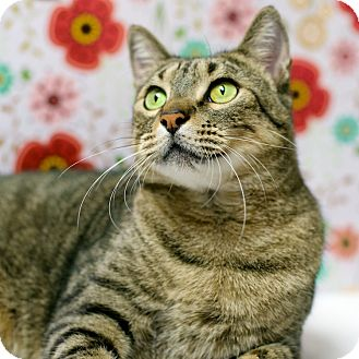 Domestic Shorthair Cat for adoption in Houston, Texas - Elwood