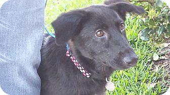 Border Collie/Labrador Retriever Mix Puppy for adoption in Kingwood, Texas - Pepper