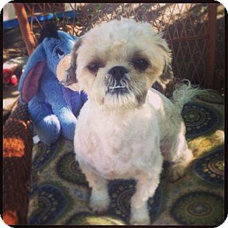 Shih Tzu/Poodle (Miniature) Mix Puppy for adoption in Seattle, Washington - Wheaton