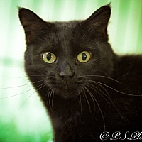 Domestic Shorthair Cat for adoption in Belton, Missouri - Black Olive