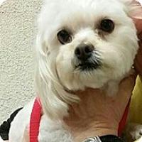 Adopt A Pet :: Peaches - NON SHED! - Phoenix, AZ