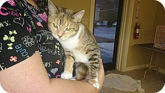 Domestic Shorthair Cat for adoption in Lakeland, Florida - Mabel