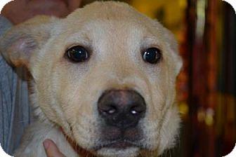 Labrador Retriever Mix Dog for adoption in Edwardsville, Illinois - Archie