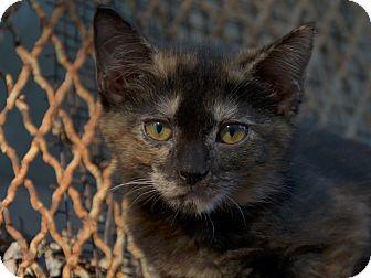American Shorthair Kitten for adoption in Brooklyn, New York - Chickpea
