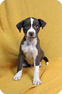 Labrador Retriever/American Staffordshire Terrier Mix Puppy for adoption in Westminster, Colorado - Kent