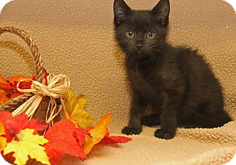 Domestic Shorthair Kitten for adoption in Marietta, Ohio - Alfalfa