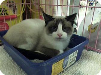 Siamese Cat for adoption in Wilmore, Kentucky - Possum