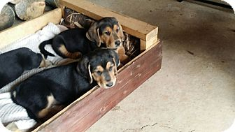 Basset Hound Mix Puppy for adoption in Nashville, Tennessee - George and Fred
