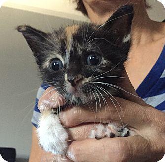 Domestic Shorthair Kitten for adoption in Bronx, New York - Miley