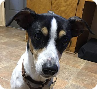 Jack Russell Terrier/Terrier (Unknown Type, Small) Mix Dog for adoption in Big Canoe, Georgia - Tyler