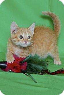 Domestic Shorthair Kitten for adoption in Gloucester, Virginia - BEDROCK