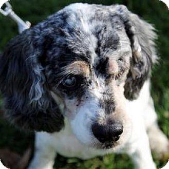 Cocker Spaniel Mix Dog for adoption in Janesville, Wisconsin - Violet