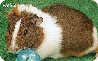 Guinea Pig for adoption in Santa Barbara, California - Waldo