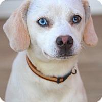 Adopt A Pet :: *Sammi - PENDING - Westport, CT