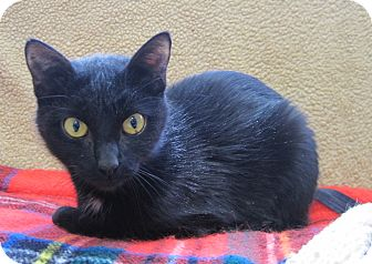 Domestic Shorthair Cat for adoption in Gaylord, Michigan - jenny