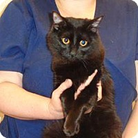 Domestic Shorthair Cat for adoption in Wildomar, California - Lacey