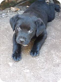 Labrador Retriever Mix Puppy for adoption in Burlington, Vermont - Sky II