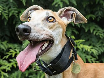 Greyhound Dog for adoption in Seattle, Washington - Riddick