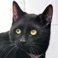 Domestic Shorthair/Domestic Shorthair Mix Cat for adoption in Tilton, Illinois - BlackJack