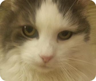 Domestic Longhair Cat for adoption in Alturas, California - Star