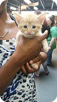 Domestic Shorthair Kitten for adoption in Raleigh, North Carolina - Cider