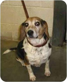 Beagle Dog for adoption in Waldorf, Maryland - Dotty Charles