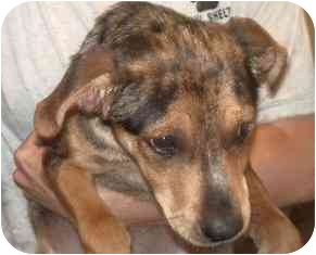 Catahoula Leopard Dog/Shepherd (Unknown Type) Mix Puppy for adoption in Broomfield, Colorado - Jack Benny