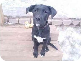 Labrador Retriever Mix Puppy for adoption in New Fairfield, Connecticut - Cherie