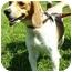 Photo 1 - Beagle Mix Dog for adoption in Somerset, Pennsylvania - Dixie