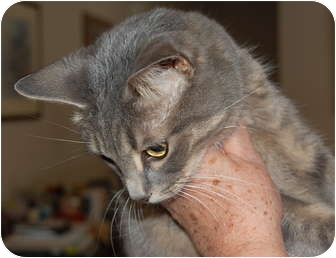Domestic Shorthair Cat for adoption in Wayzata, Minnesota - Isabelle