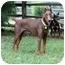 Photo 4 - Doberman Pinscher Dog for adoption in Greensboro, North Carolina - Rex