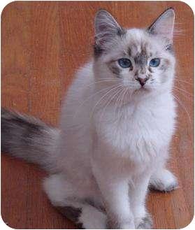 Ragdoll Kitten for adoption in Davis, California - Lana