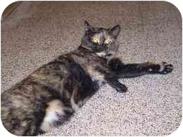 Domestic Shorthair Cat for adoption in Bay City, Michigan - Annabelle